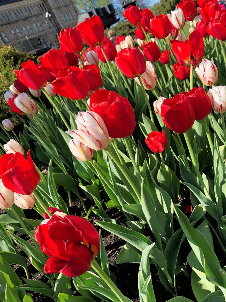 Red Tulips at Tulipfest Ottawa